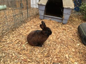 rabbit brown
